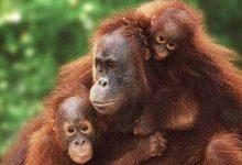 Photo of Orang- Oetan gebruikt geneeskrachtige plant om spier- en  gewrichtspijn aan te pakken