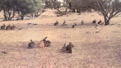 Photo of Nieuw-Zeeland zet biologisch wapen in tegen konijnen