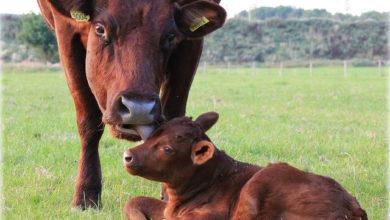 Photo of 550 miljoen dieren sterven jaarlijks in Nederland voor de voedingsindustrie