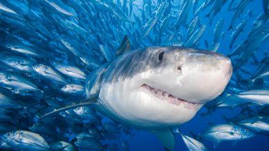 Photo of Een half miljoen haaien mogelijk gedood om het COVID-19-vaccin te maken